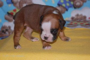 new boxerpuppy08