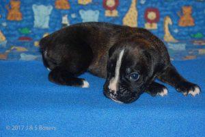 new boxerpuppy13