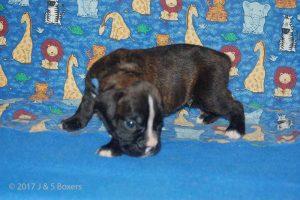 new boxerpuppy14