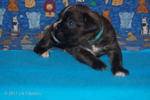 new boxerpuppy18
