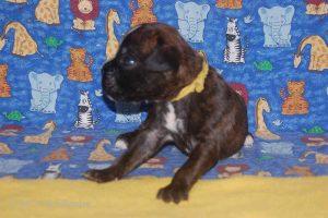 new boxerpuppy22