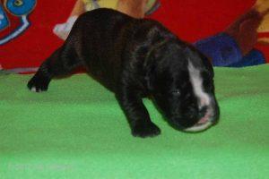 new boxerpuppy36
