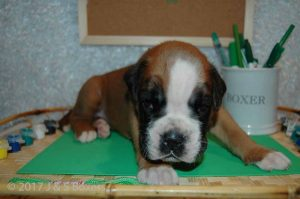 3 week old boxer puppies03
