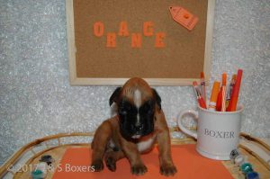 3 week old boxer puppies05