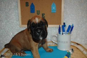 3 week old boxer puppies08