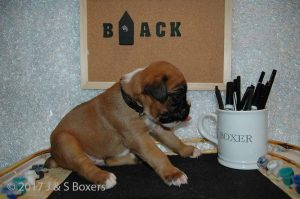 3 week old boxer puppies09