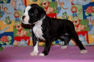 6 week old boxer puppy