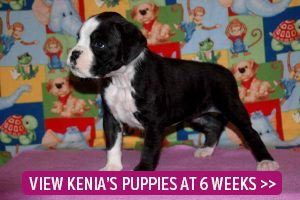 6 week old boxer puppies page link