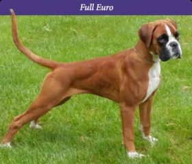 Bruja full euro boxer female