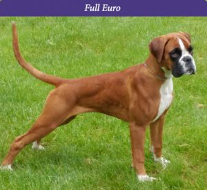 Bruja is a Full Euro boxer female